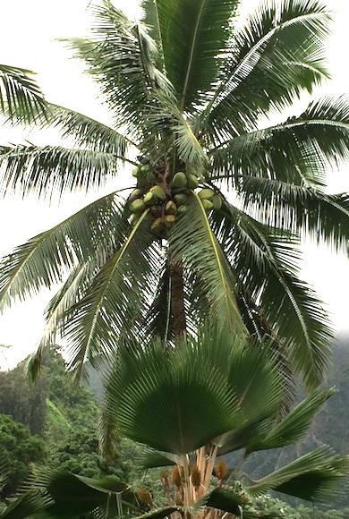 Palm tree1