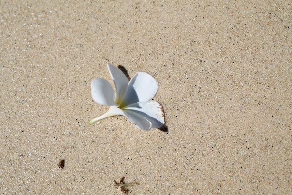 ラニカイビーチのプルメリア