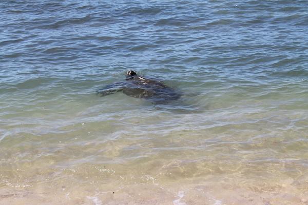 ハレイワアリイビーチのホヌ