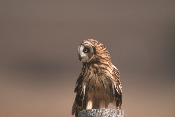 short-eared-owl-908592_1280