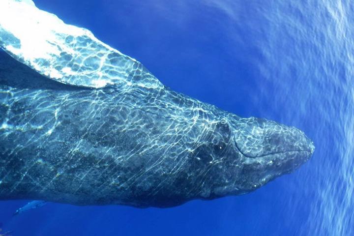 하와이 마우이 고래