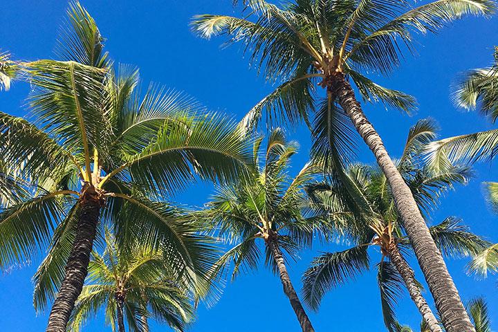 ハワイ、椰子の木