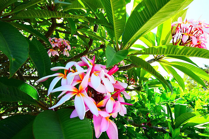 ハワイ、プルメリア