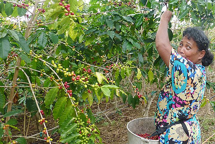 ハワイ島、コナコーヒー
